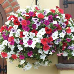 Thompson & Morgan Trailing Surfinia Mixed � Garden Ready Basket with 3 Plants