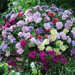 Thompson & Morgan Petunia Frills & Spills - Garden Ready Basket with 4 Plants