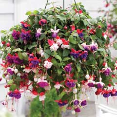 Thompson & Morgan Fuchsia Trailing Mixed � Garden Ready Basket with 5 Plants