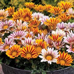 Thompson & Morgan Gazania Tiger Stripes Mixed 30 Garden Ready Plants