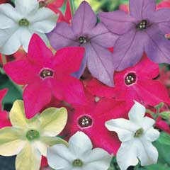 Thompson & Morgan Nicotiana Eau de Cologne Mixed 30 Garden Ready Plants