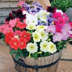 Thompson & Morgan Petunia Frenzy 30 Garden Ready Plants