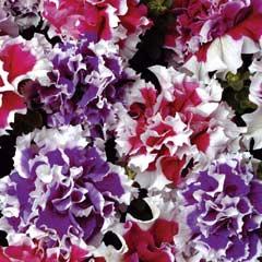 Thompson & Morgan Petunia Orchid Picotee Mixed 30 Garden Ready Plants