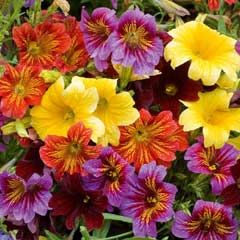 Thompson & Morgan Salpiglossis Royale Mixed 30 Garden Ready Plants