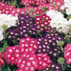 Thompson & Morgan Verbena Quartz Mixed 30 Garden Ready Plants