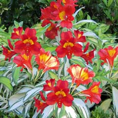 Thompson & Morgan Alstroemeria Rock n Roll
