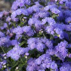 Thompson & Morgan Ageratum Blue Danube 30 Garden Ready Plants