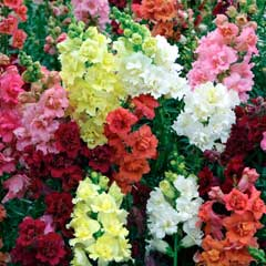 Thompson & Morgan Antirrhinum Madame Butterfly 30 Garden Ready Plants