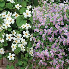 Thompson & Morgan Bacopa Duo 30 Garden Ready Plants