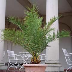 Thompson & Morgan Phoenix Palm
