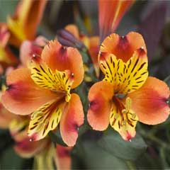 Thompson & Morgan Alstroemeria Indian Summer 3 x Pots