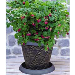 Thompson and Morgan Raspberry Ruby Beauty 1 x Potted Plant, Patio Pot & Saucer & Incredicrop