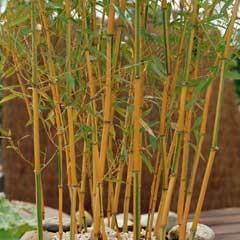 Thomson & Morgan Golden Bamboo 1 x 9cm Pot