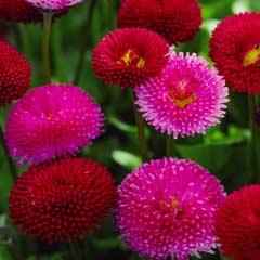 Thompson & Morgan Bellis Pomponette Bicolour 30 x Garden Ready Plants