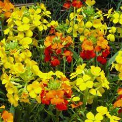 Thompson & Morgan Wallflower Citrona Mixed 12 x Garden Ready Plants