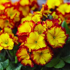 Thompson & Morgan Polyanthus Firecracker 30 x Garden Ready Plants