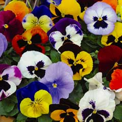 Thompson & Morgan Pansy Matrix Mixed 30 x Garden Ready Plants