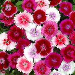 Thompson & Morgan Dianthus Festival Mixed 30  x Garden Ready Plants