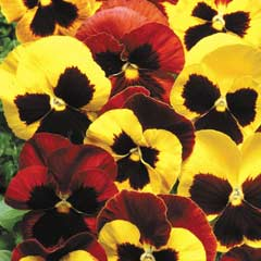 Thompson & Morgan Pansy Autumn Blaze Mixed 30 x Garden Ready Plants