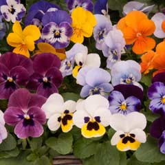 Thompson & Morgan Viola Autumn Jewels Mixed 30 x Garden Ready Plants