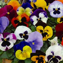 Thompson & Morgan Pansy Matrix Mixed  1 x Pre-Planted Hanging Basket