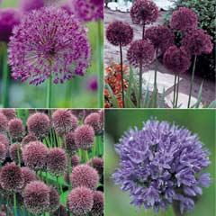 Thompson & Morgan Allium Collection - 100 Bulbs