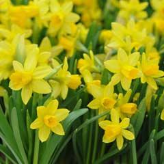 Thompson & Morgan Daffodil Mini Tete A Tete - 50 Bulbs