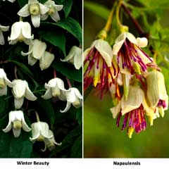 Thompson & Morgan Winter Clematis Duo 2 x 7cm Pots