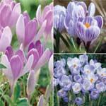 Autumn Bulbs - Crocus Bicolour Collection 80 Bulbs