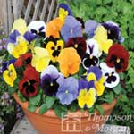 Autumn Plants - Pansy Most Scented Mix 24 Plug Plants