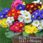 Autumn Plants - Polyanthus Most Scented Mixed 24 Plug Plants