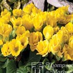 Autumn Plants - Primrose Cupid Lemon 24 Plug Plants