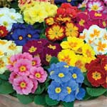Autumn Plants - Primrose Alaska Mixed 24 Plug Plants
