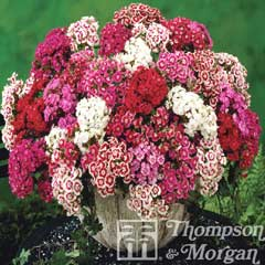 Thompson & Morgan Sweet William Mixed Garden Ready 30 Tray x 1