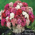 Autumn Plants-Sweet William Mixed Garden Ready 30 Tray x 1