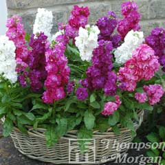 Thompson & Morgan Stock Most Scented Mix 30 Garden Ready Plants