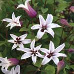 Autumn Plants - Clematis Princess Kate 1 x 2 Litre Pot