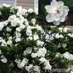 Autumn Plants - Gardenia Jasminoides Crown Jewels  1 x 9cm Pot