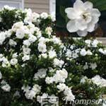 Autumn Plants - Gardenia Jasminoides Crown Jewels
