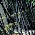 Autumn Plants - Black Bamboo