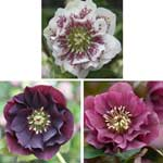 Helleborus Double Ellen Collection - 12 Plants