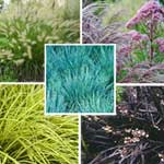 Ornamental Grasses Mix  5 Plants
