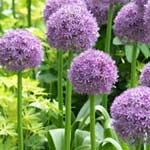 Allium Globemaster 6 Bulbs