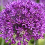 Allium giganteum 6 Bulbs