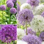 Big & Bold Allium Collection 12 Bulbs