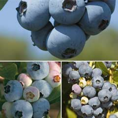 Thompson & Morgan Blueberry Full Season Collection  3 x 1.5 litre pots