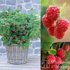 Thompson & Morgan Raspberry Ruby Beauty 3 x 9cm Pots