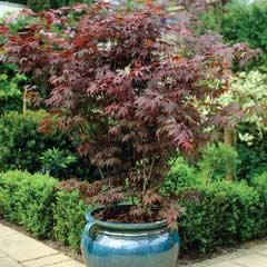 Acer Palmatum Large  3.5 Litre Pot