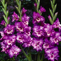 Thompson & Morgan Gladiolus Tango 10 Corms