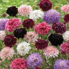 Thompson & Morgan Scabiosa Butterfly Magnets Mix 6 Jumbo Plugs